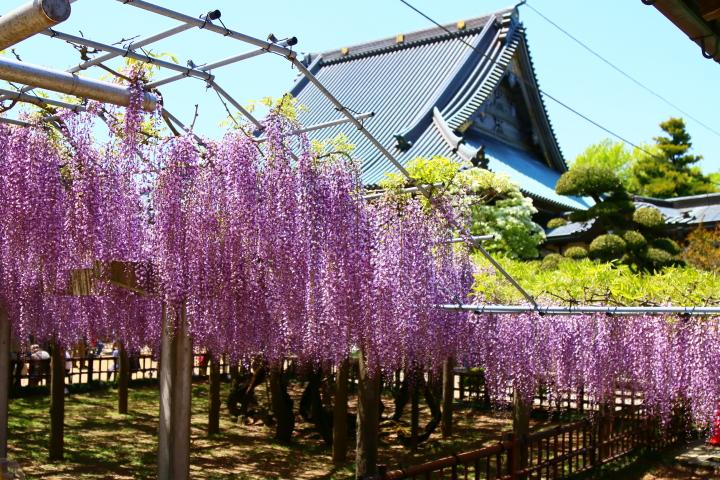 妙福寺の藤まつり