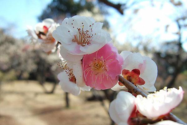 清水公園 梅まつり