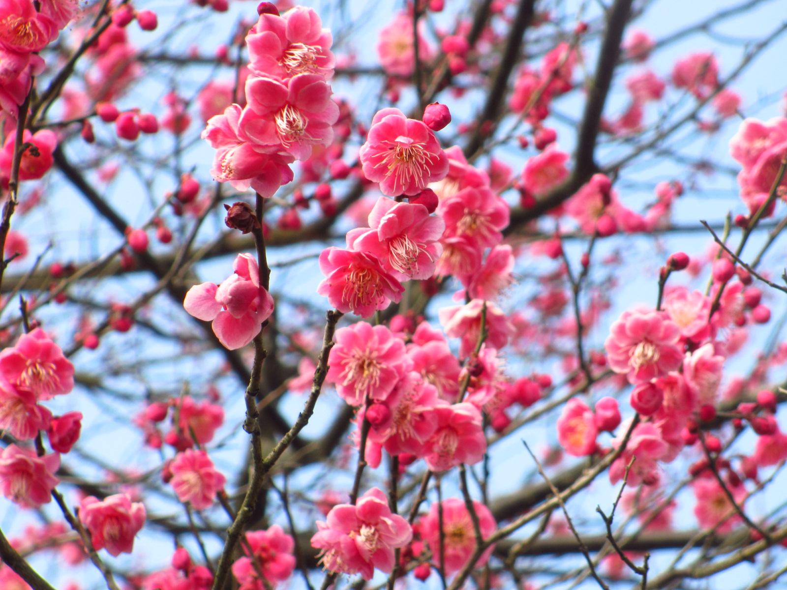都心から日帰りできる千葉のおすすめ梅の名所はここ!