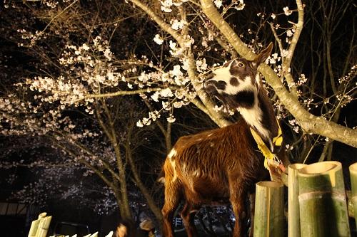 桜とヤギさんと一緒に、夜桜記念撮影をしよう。